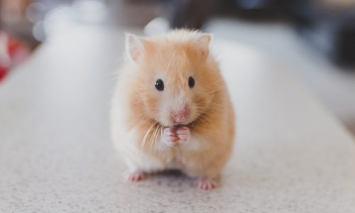 9 Facts You Need to Know Before Considering a 'Pet' Hamster